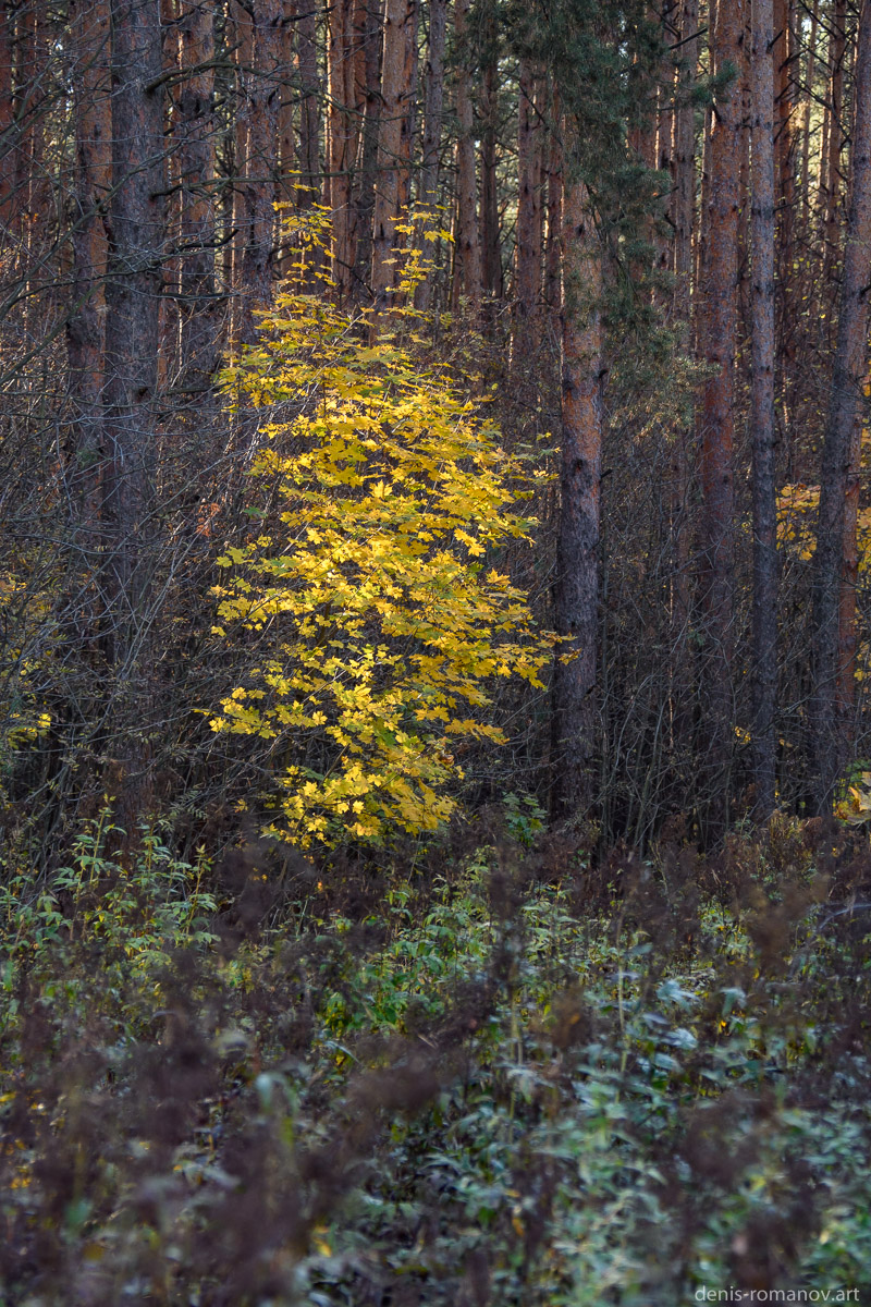 Жёлтый клён