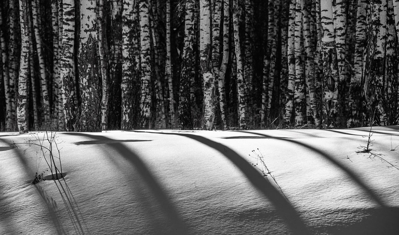 Тени берез на снегу