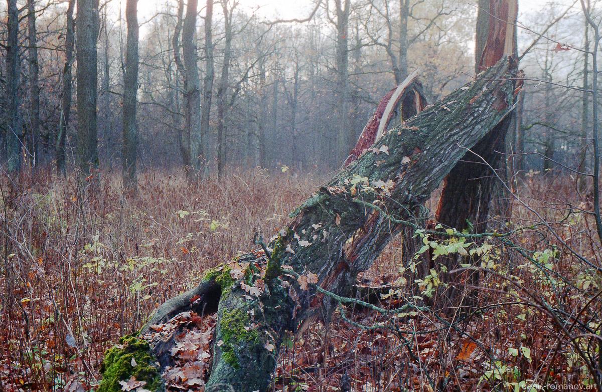 Осенний дуб - упавший солдат