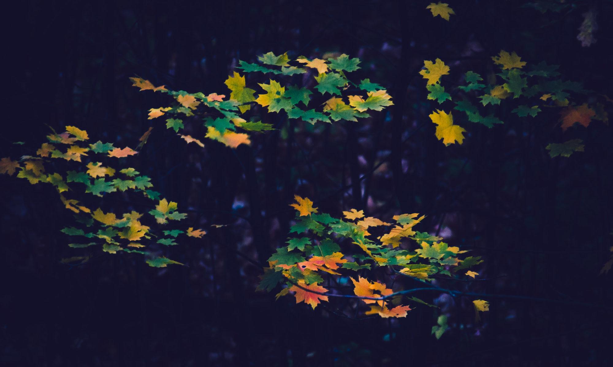 Листья клёна в сумерках