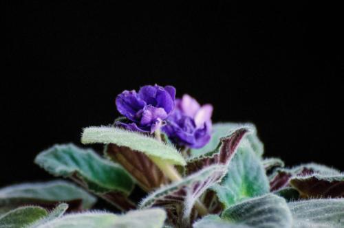 Violet Alive