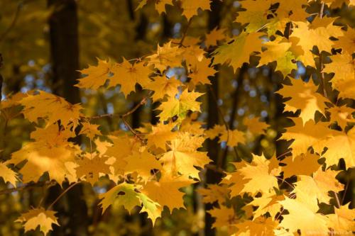 Желтые листья клёна